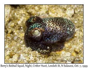 Berry's Bobtail Squid at night