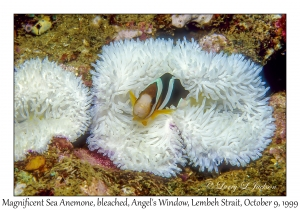 Bleached Magnificent Anemone & Clark's Anemonefish