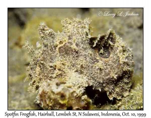 Spotfin Frogfish