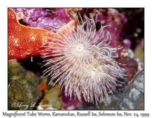 Magnificent Tube Worm