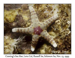 Cuming's Sea Star