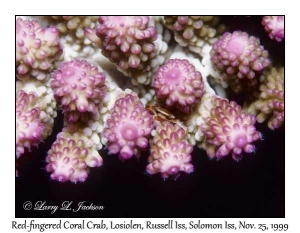 Red-fingered Coral Crab