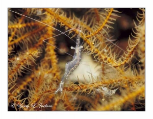 Translucent Gorgonian Shrimp