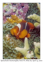 Spinecheek Anemonefish & eggs