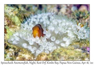 Spinecheek Anemonefish, night