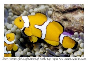 Clown Anemonefish, night
