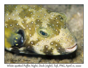 White-spotted Puffer @ night