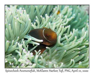 Spinecheek Anemonefish in Leathery Sea Anemone
