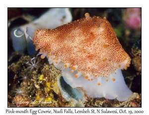 Pink-mouth Egg Cowrie