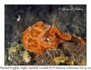 Painted Frogfish @ night