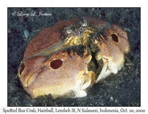 Spotted Box Crab