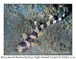 Brown-banded Bamboo Shark juvenile