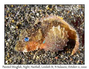 Painted Stingfish @ night