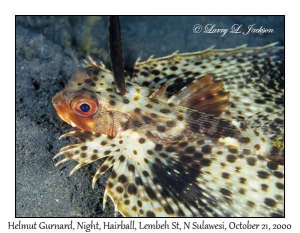Helmut Gurnard @ night