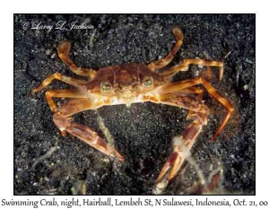 Swimming Crab @ night