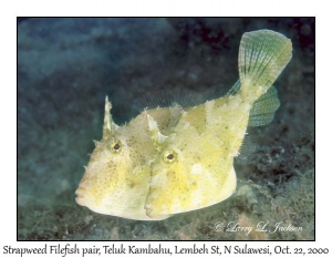 Strapweed Filefish pair