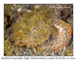 Bandtail Scorpionfish @ night