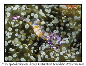 Yellow-spotted Anemone Shrimp