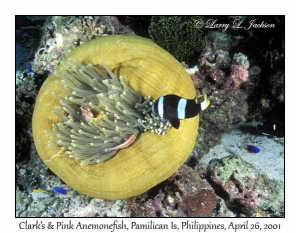 Clark's & Pink Anemonefish in Magnificent Sea Anemone
