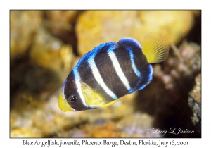 Blue Angelfish, juvenile