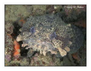 Leopard Toadfish