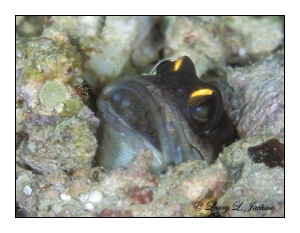 Yellowbarred Jawfish male with eggs