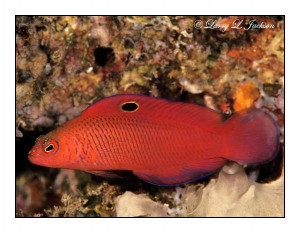 Oblique-lined Dottyback