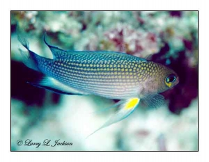Longfin Dottyback at 182 feet