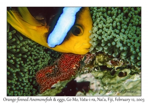Orange-finned Anemonefish with eggs