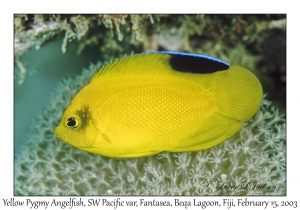 Yellow Pygmy Angelfish, Southwest Pacific variety
