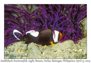 Saddleback Anemonefish, night