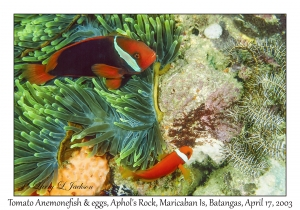 Tomato Anemonefish with eggs
