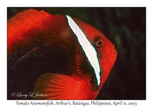 Tomato Anemonefish, female