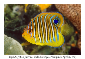 Regal Angelfish, juvenile
