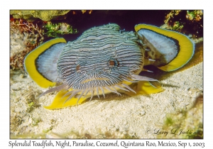 Splendid Toadfish at night