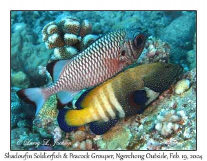 Shadowfin Soldierfish & Peacock Grouper