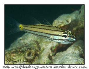 Toothy Cardinalfish, male with eggs