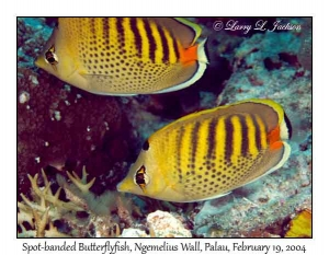 Spot-banded Butterflyfish