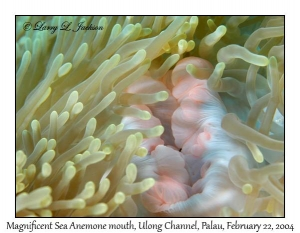 Magnificent Sea Anemone mouth