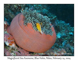 Magnificent Sea Anemone & Pink Anemonefish