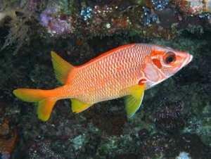 Sabre Squirrelfish