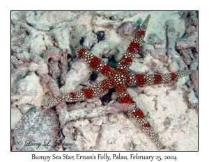 Bumpy Sea Star