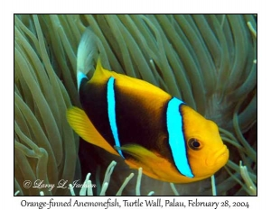 Clark's Anemonefish in Leathery Sea Anemone
