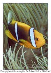 Orange-finned Anemonefish in Leathery Anemone