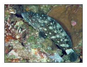Whitespotted Grouper