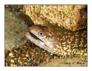 Reticulated Moray eating smaller eel
