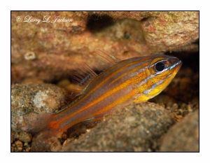Yellowstriped Cardinalfish @ night