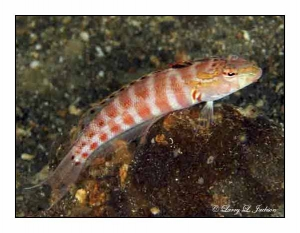 Red-spotted Sandperch male