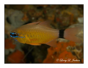 Ringtailed Cardinalfish