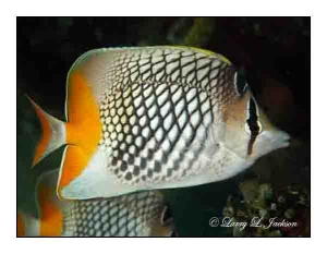 Crosshatch Butterflyfish